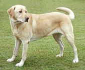 260px-YellowLabradorLooking_new