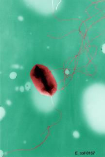 kswfoodworld E.coli O157