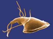 CDC Giardia2