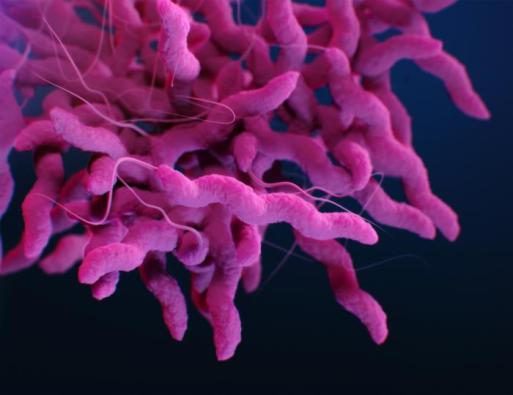 Campylobacter kswfoodworld